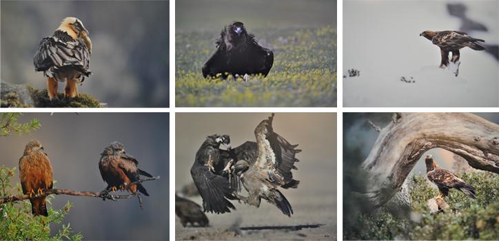 #Aves carroñeras ibéricas. La patrulla de limpieza de los ecosistemas