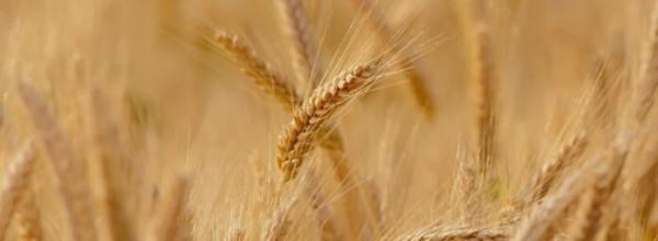 ¿Es el trigo moderno peor para el medio ambiente? Cristina Enea Fundazioa