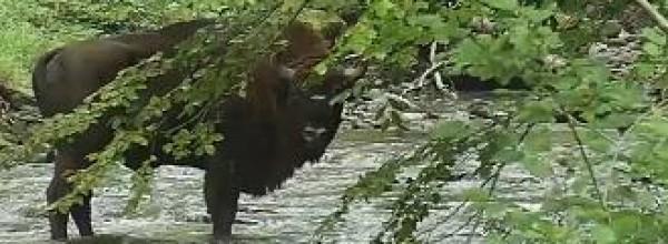 Los bisontes europeos se especializan como guardabosques Cristina Enea Fundazioa
